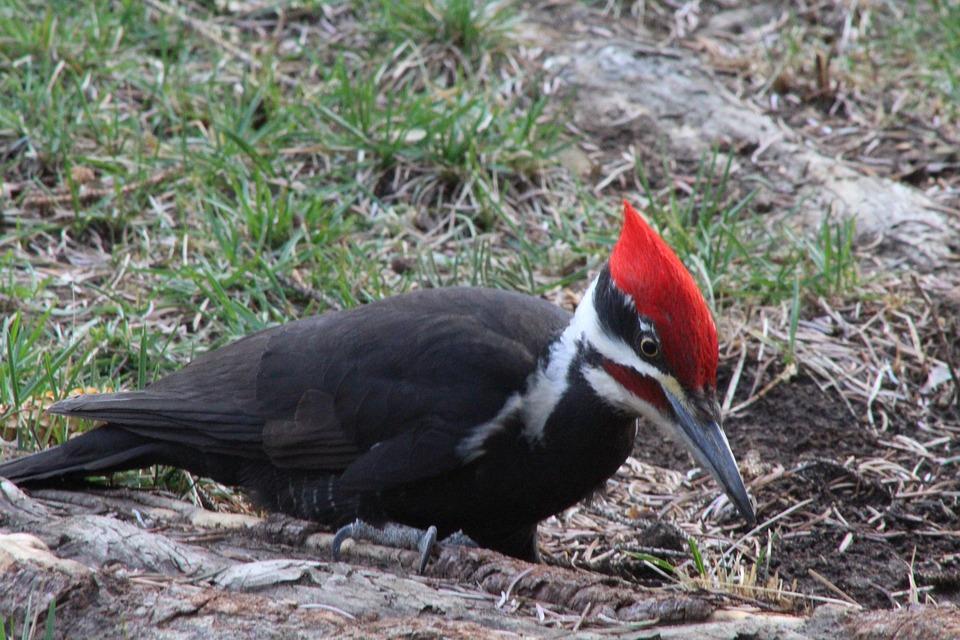 Woodpecker, Outdoors, Bird, Nature, Wildlife, Red