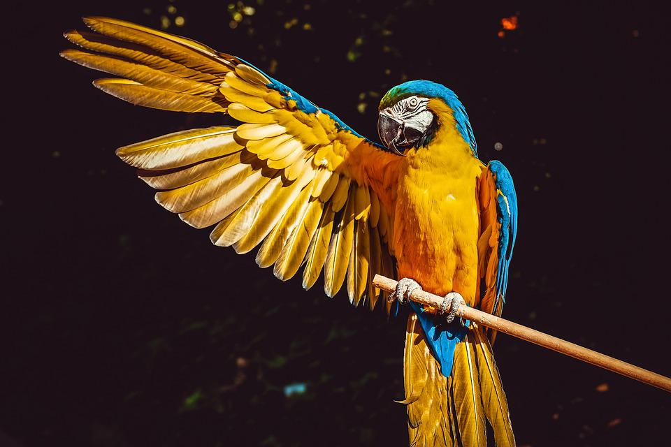Parrot, Yellow Macaw, Bird, Perched, Wings, Animal