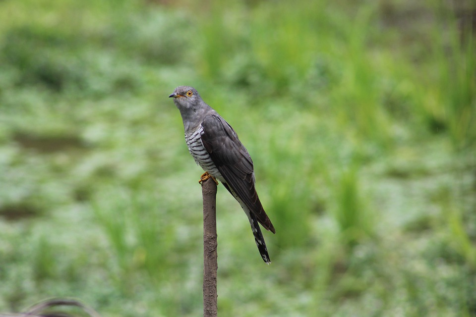 Bird, Eurasian Cuckoo, Feathers, Plumage, Wings, Peak