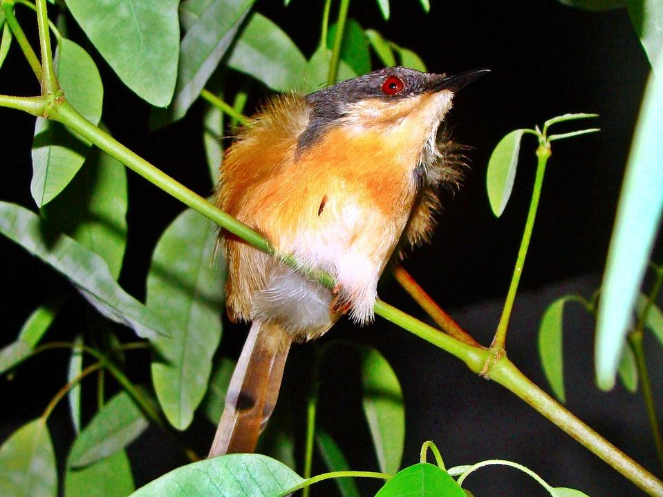 Ashy, Wren, Warbler, Bird, Nature, Close-up, Macro