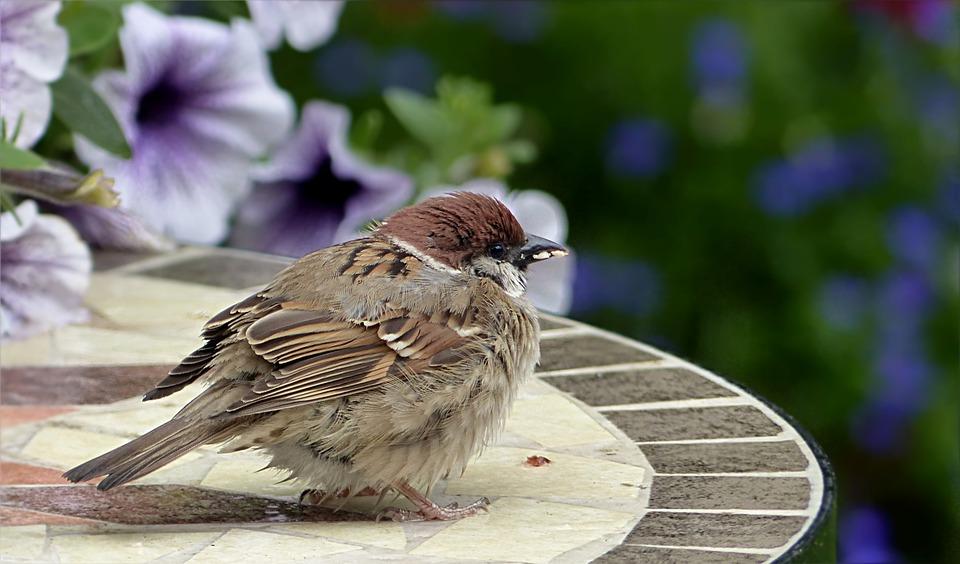 Bird, Sparrow, Sperling, Passer Domesticus, Young