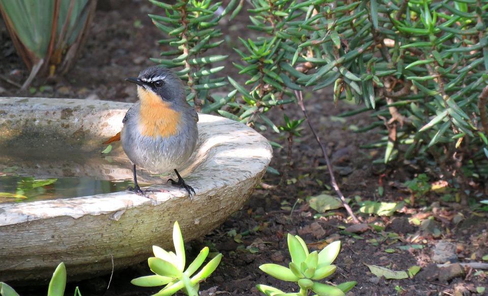 Bird, Robin, Birdbath, Nature, Garden, Perching