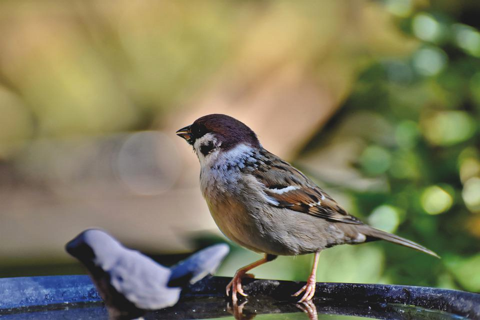 Sparrow, Sperling, Bird, Animal, Birdie, Plumage