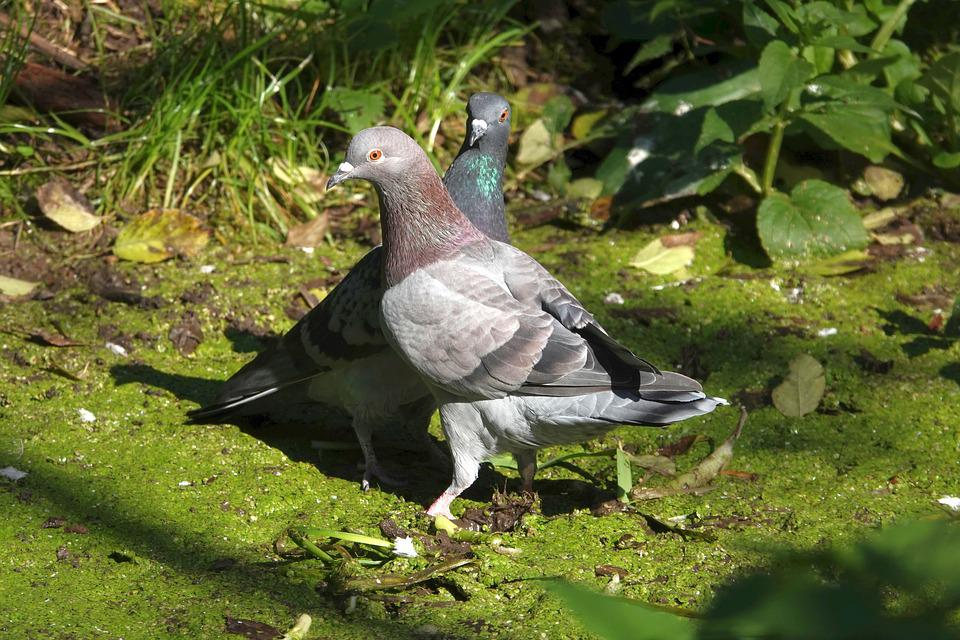 Pigeons, Birds, Animal World, Dove, Bird, Animal