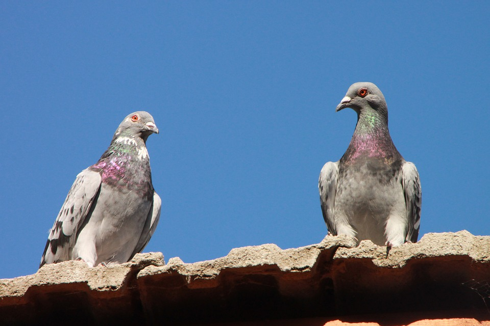 Pigeons, Roof, Birds, House, Animal, Urban, Building
