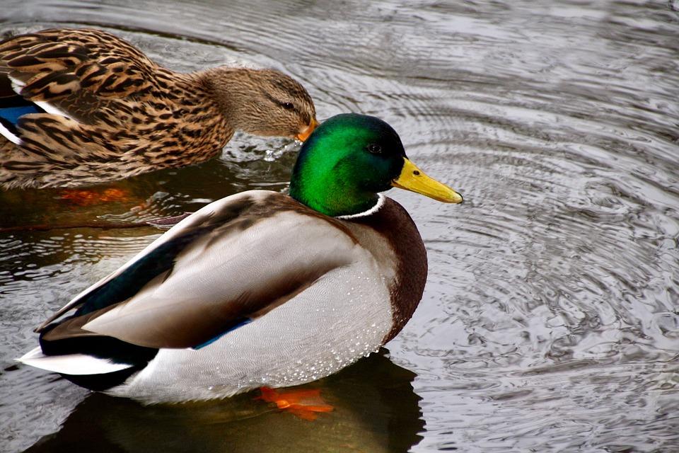 Ducks, Birds, Animal, Nature, Water Bird, Animal World