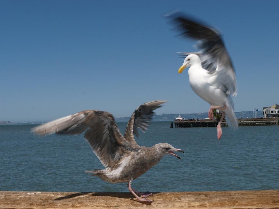 Seagulls, Birds, Animals, Nature, Wild, Wildlife