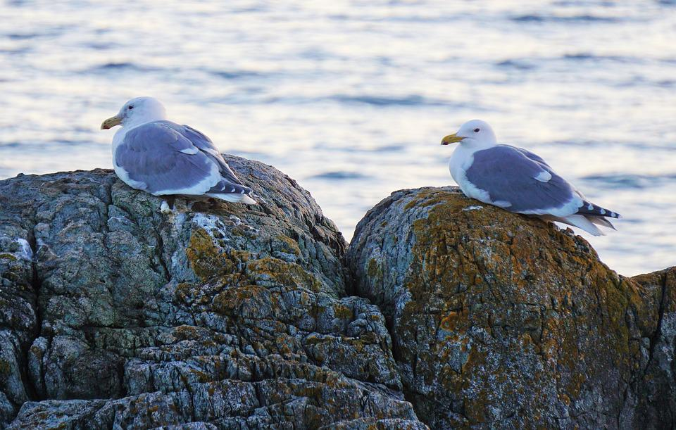 Seagulls, Victoria, Bc, Ocean, Rocks, Nature, Birds
