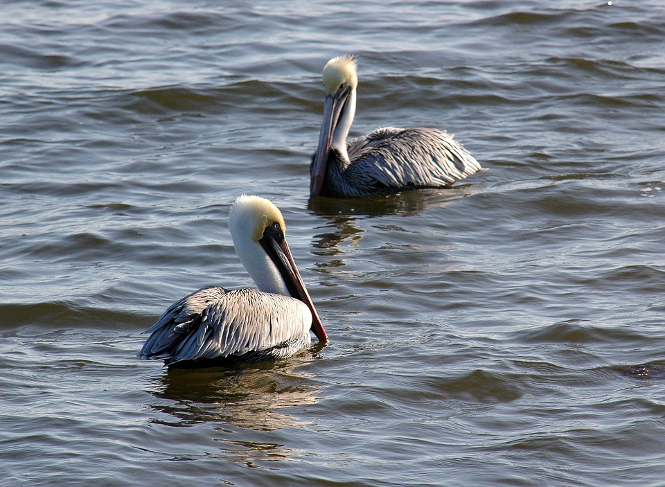 Pelicans, Birds, Water, Wildlife, Wild, Beak, Ocean