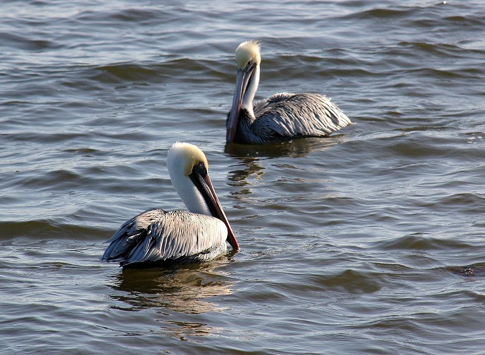 Pelicans, Birds, Water, Wildlife, Wild, Beak, Ocean