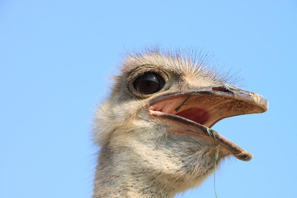 Beak, Close-up, Eyes, Head, Ostrich, Warming, Birds