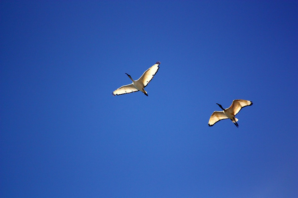 Bird, Birds, Ibis, Flight, Ala, Stork, Sky, Sharp, Ali