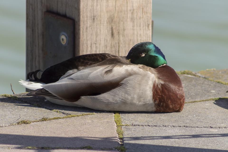 Duck, Wild Ducks, Teal, Bird, Birds, Water Bird, Swim