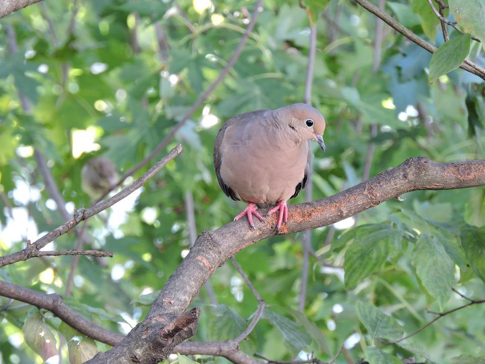 Mourning Dove, Doves, Birds, Avian, Birdwatching