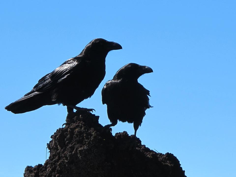 Birds, Crow, Black