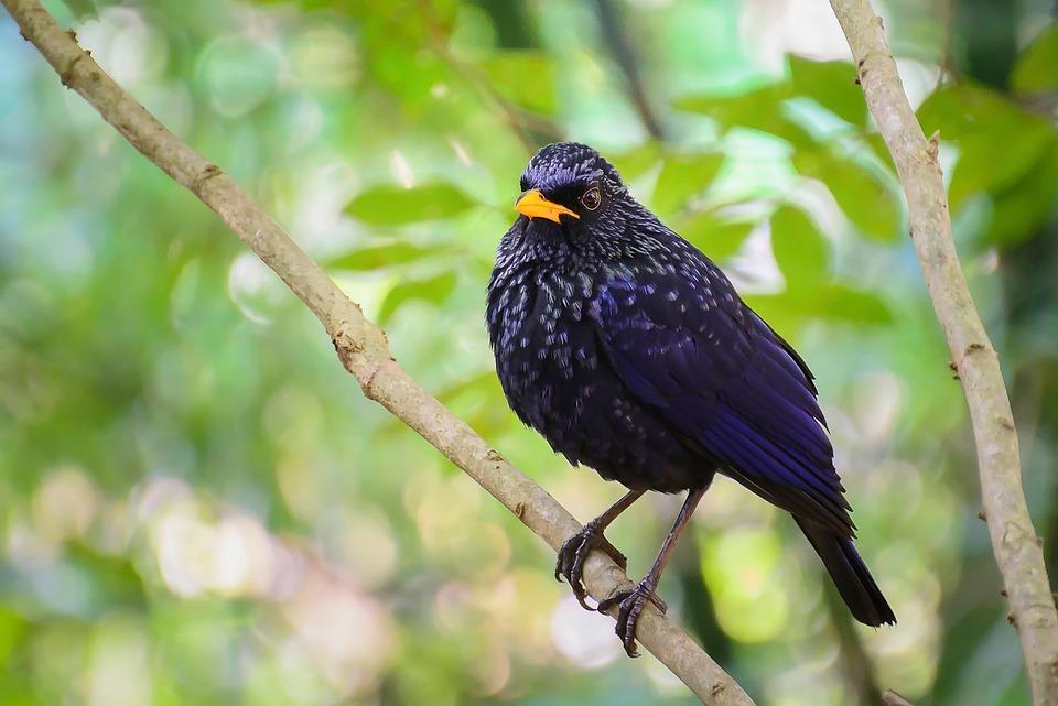 Birds, Black, Mouth