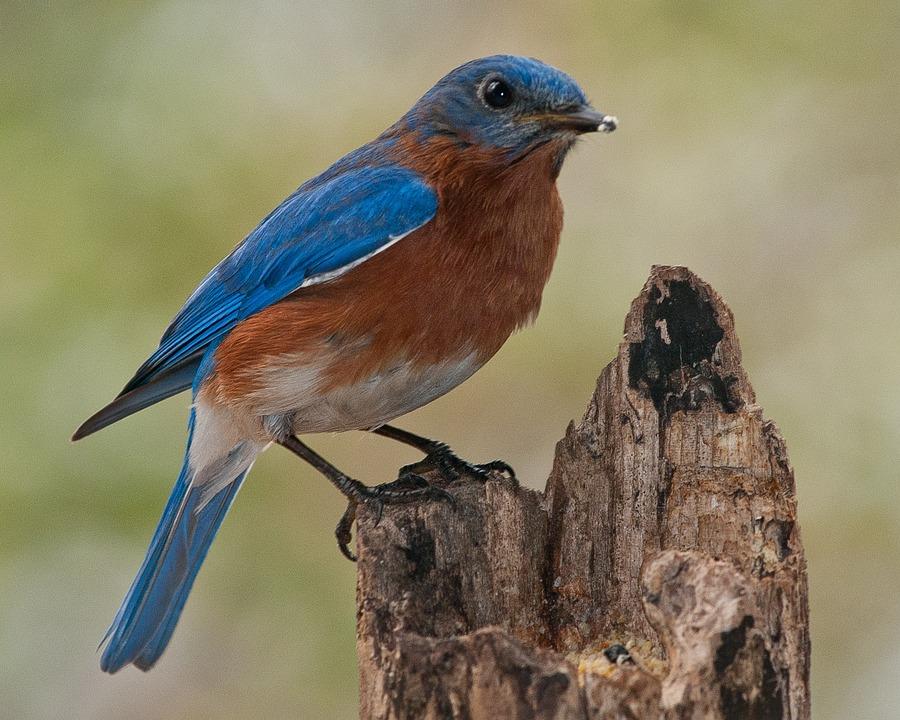 Birds, Bluebird, Nature, Perch