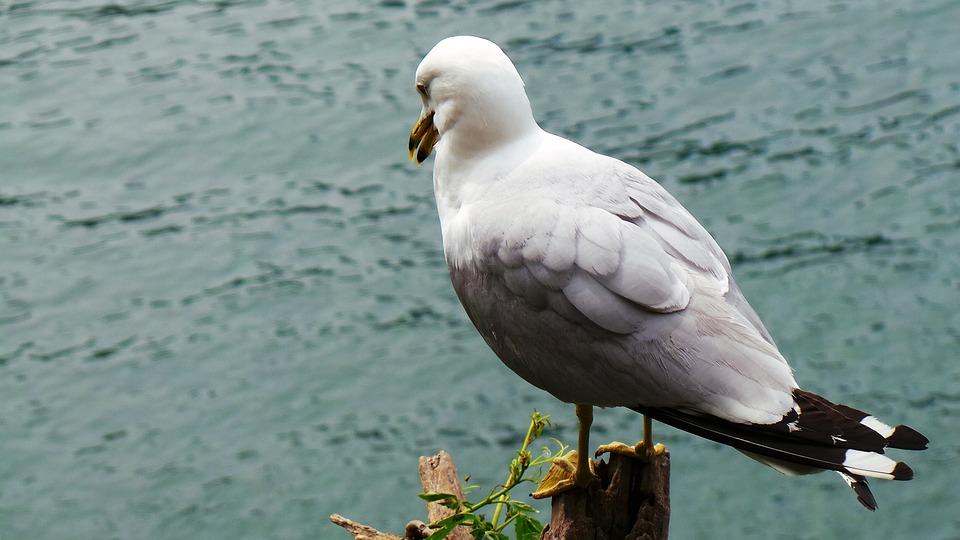 Seagull, Birds, Seagull's Dream, Break
