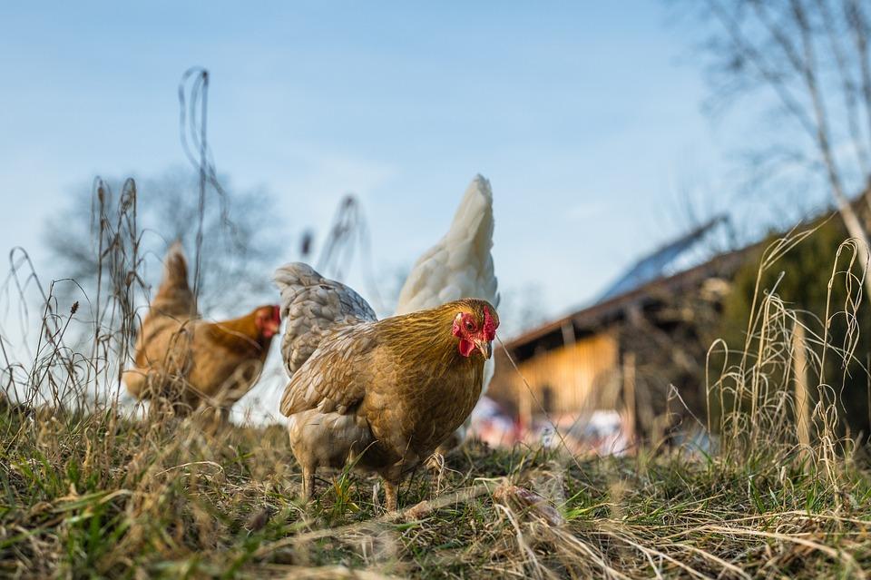 Chickens, Hens, Birds, Landfowls, Livestock, Poultry
