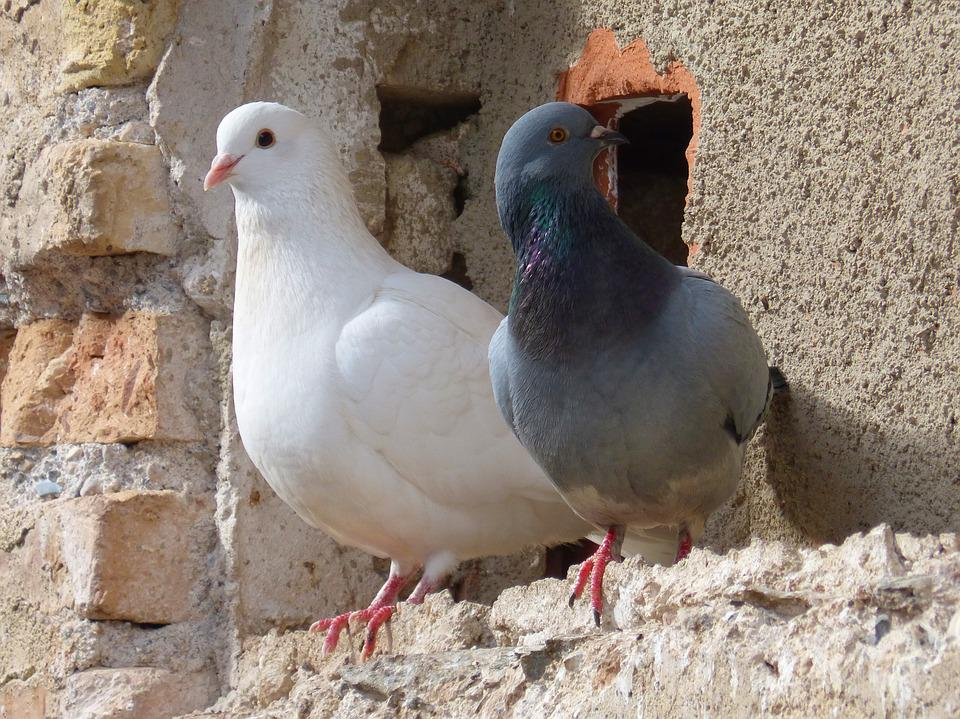 Pigeons, Couple, White Dove, Birds