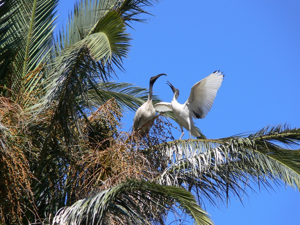 Ibis, Palm Tree, Birds, Courting, Courting Birds