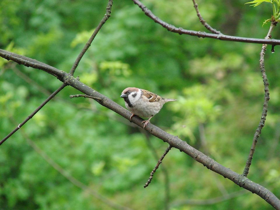 Sparrow, Curiosity, Birds