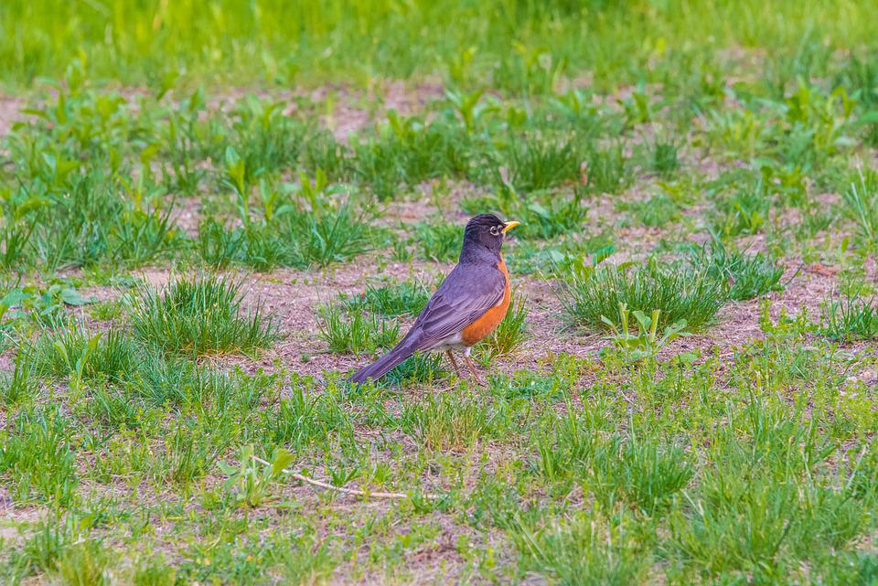 Birds, Robin, Garden, Red, Cute, Grass, Orange, Mohan