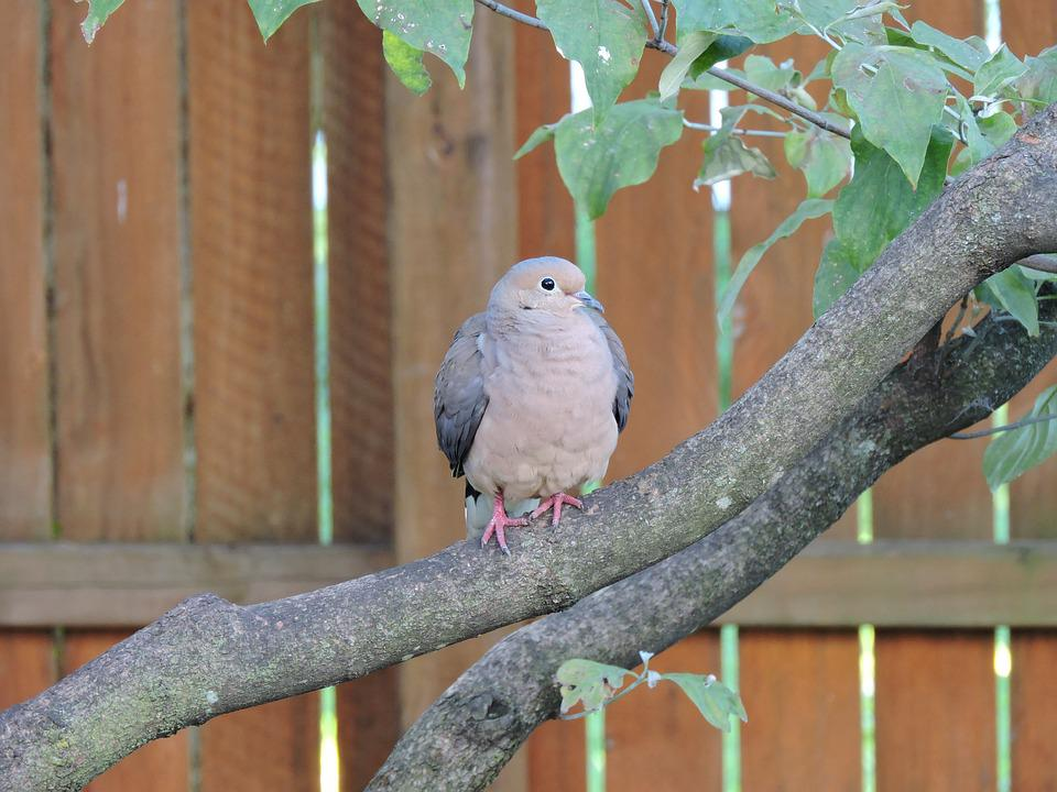 Mourning Dove, Doves, Birds, Avian, Birdwatching