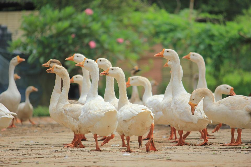 Ducks, Duck, Nature, Animals, Birds, India, Trip