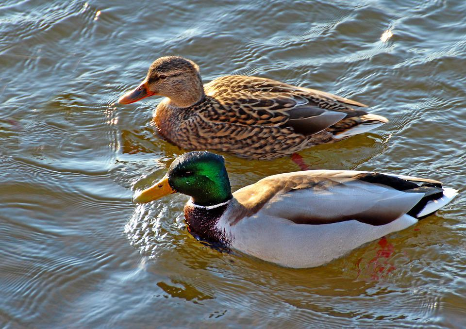 Nature, Winter, Birds, Duck
