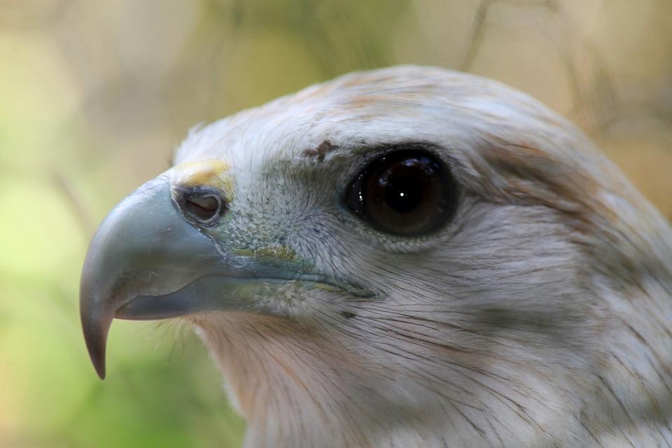 Eagles, Birds, Predators, Raptors, Wildlife
