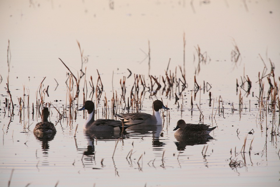 Geese, River, Birds, Calm, Fly, Wings, Feather
