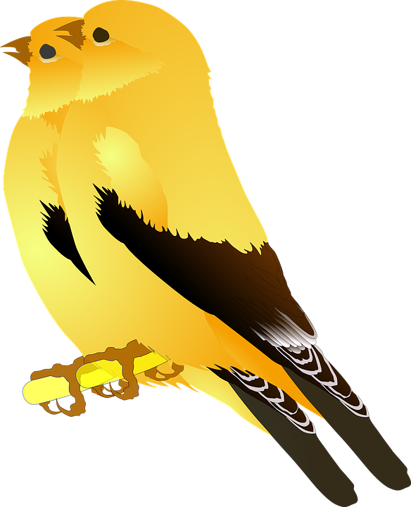 Birds, Gold, Finches, Singing, Sitting, Perching