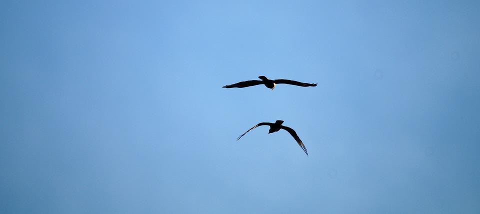 Birds, Flight, Freedom, Sky, Fly, Flying Birds, Wings