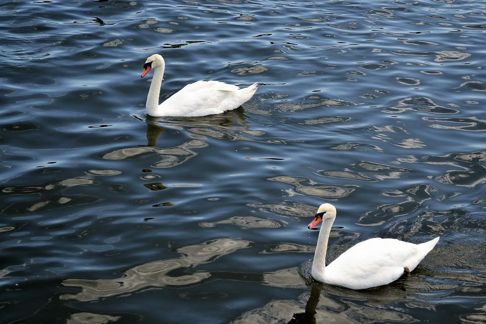 Swans, River, Lake, Floating, Birds, Animals, Swimming