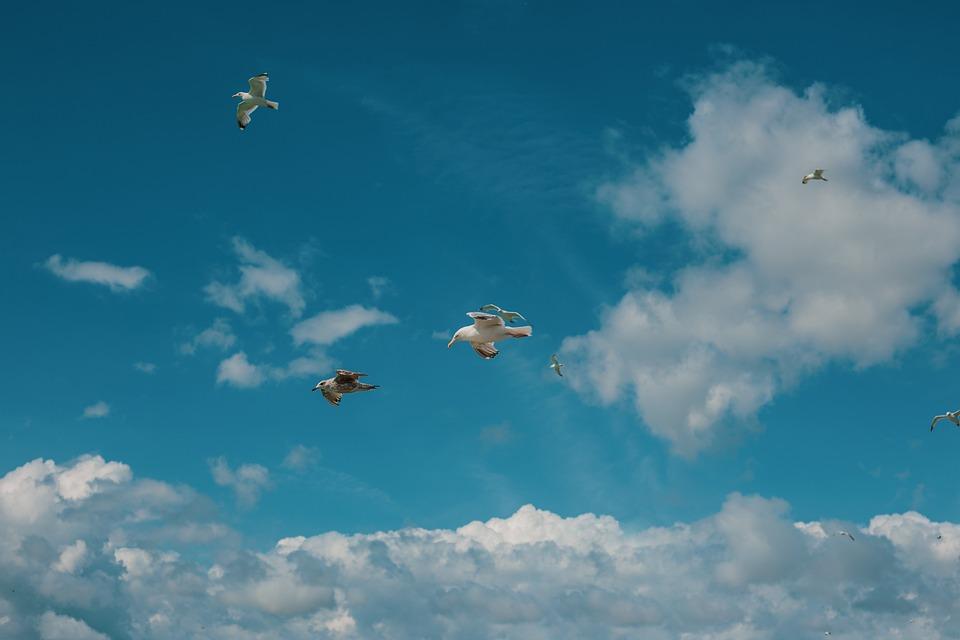 Flock, Seagulls, Flight, Birds, Flying, Flying Brids