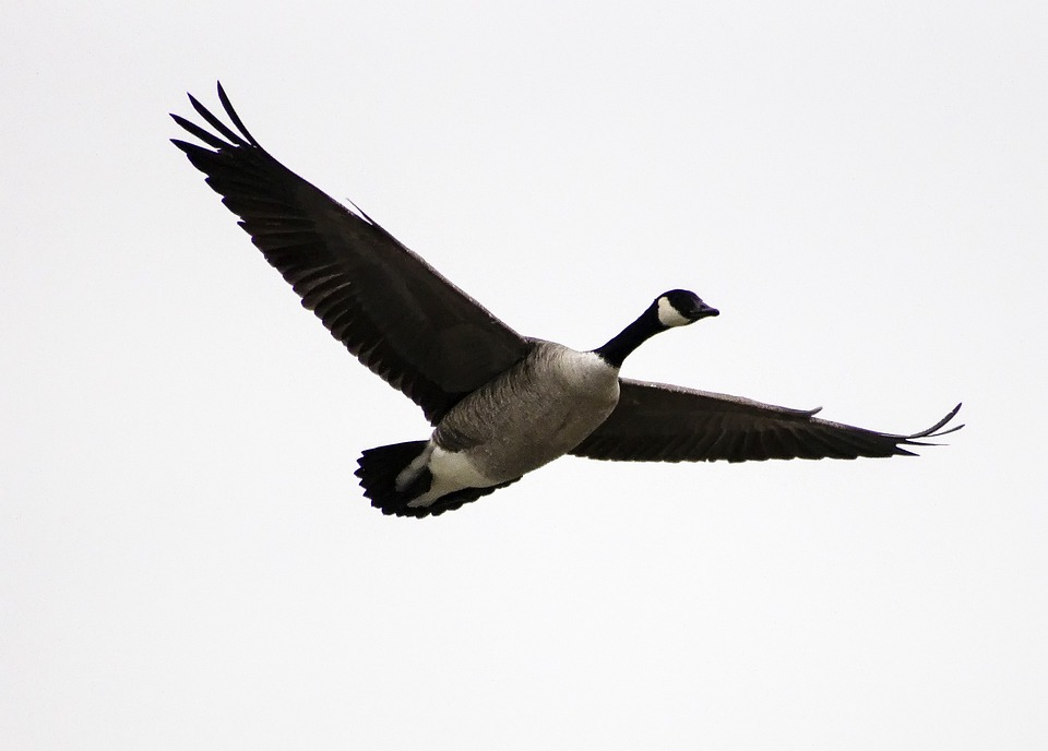 Geese, Birds, Birds Flying, Waterfowl, Bird, Flight