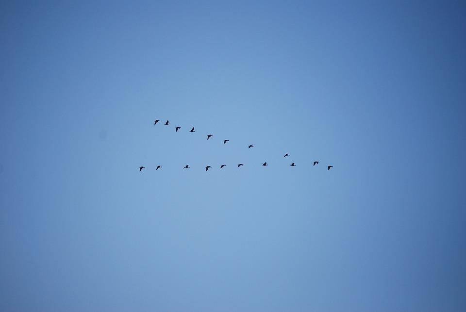 Birds, Freedom, Flock, Flying, Animal