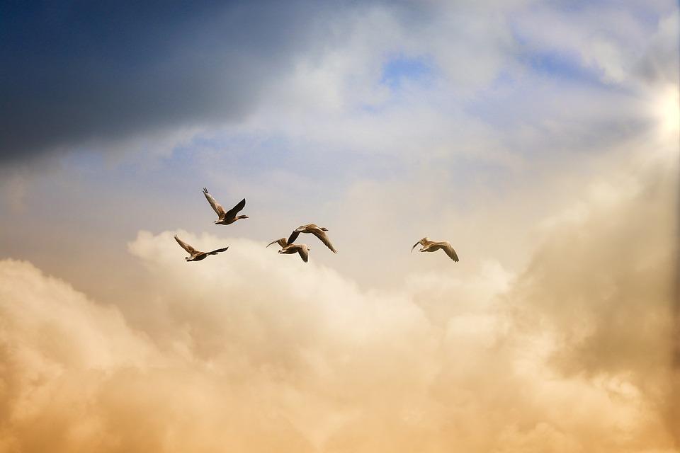 Birds, Flying, Freedom, Ducks, Sky, Animals
