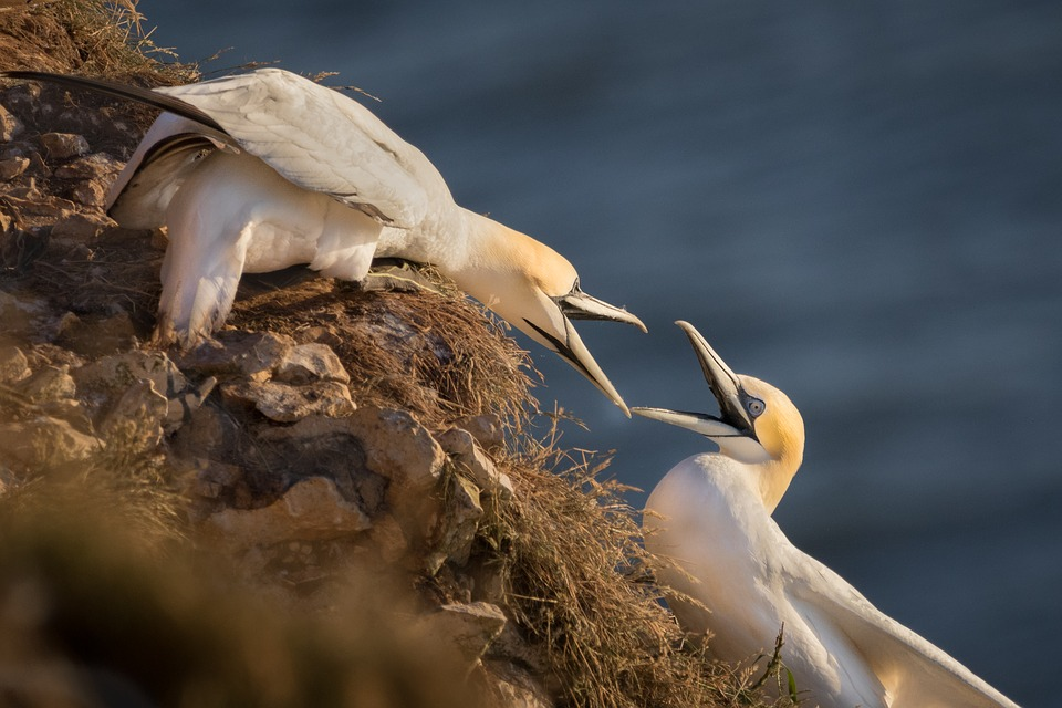 Gannet, Birds, Nature, Sea, Rock, Wildlife, Ocean
