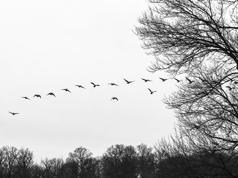 Flock, Flocking, Geese, Birds, Birds Flying, Waterfowl