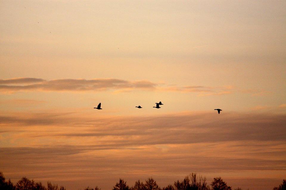 Birds, Spring, Geese