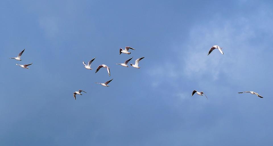 Gulls, Swarm, Sky, Blue, Fly, Birds, Foraging