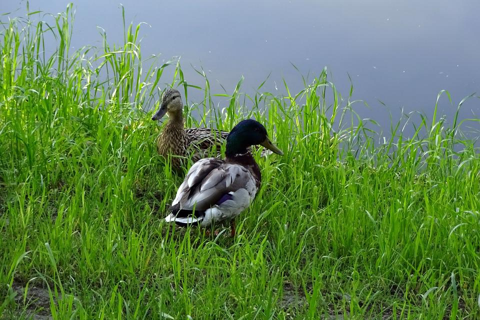 Lawn, Nature, Birds, Animals, Duck, Beak, Summer