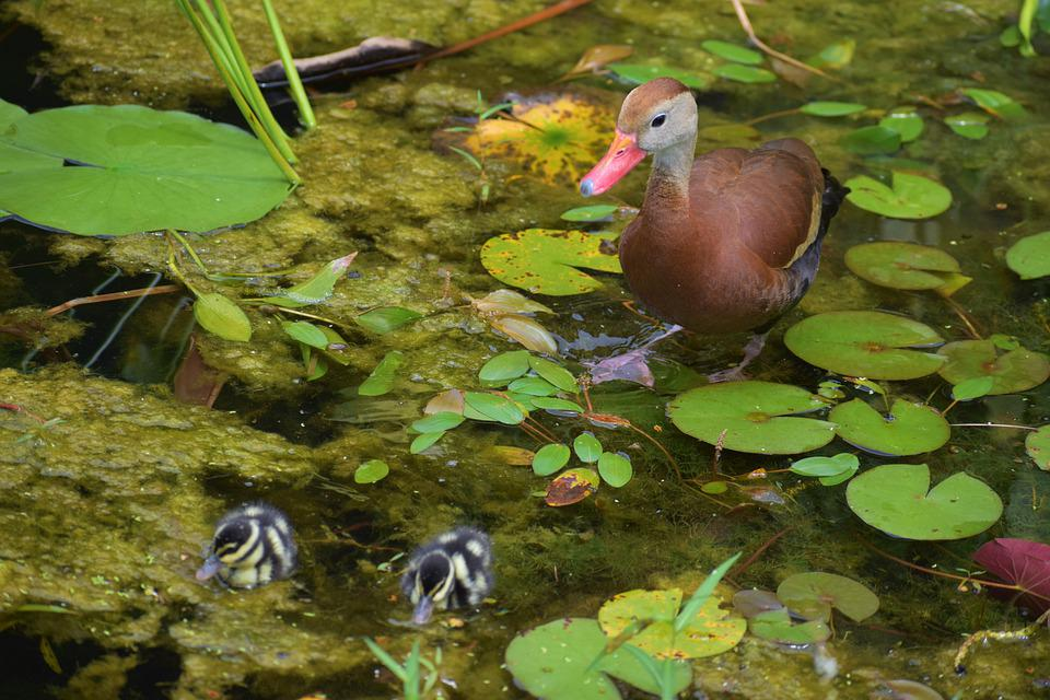 Ducks, Birds, Ducklings, Pond, Lily Pads, Animals