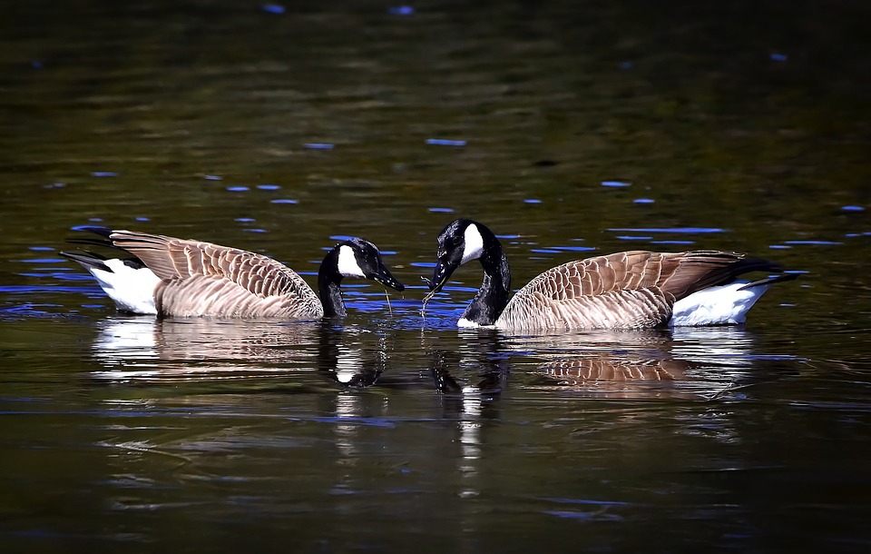 Geese, Nature, Birds, Eat, Feathers, Lake, Couple, Love