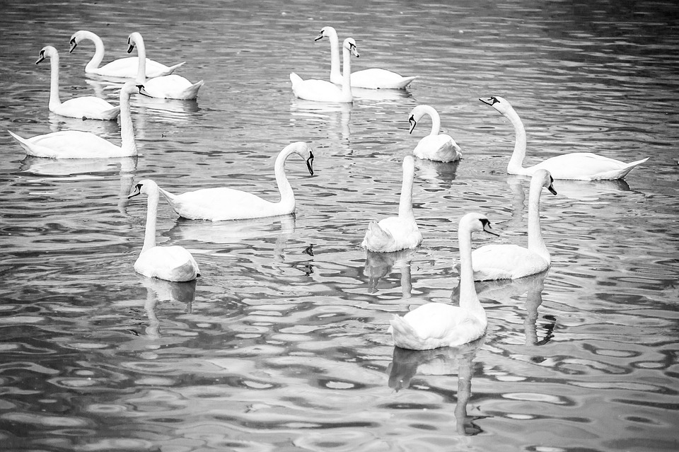 Water, Birds, Bird, Animal, Feather, Nature, Swan