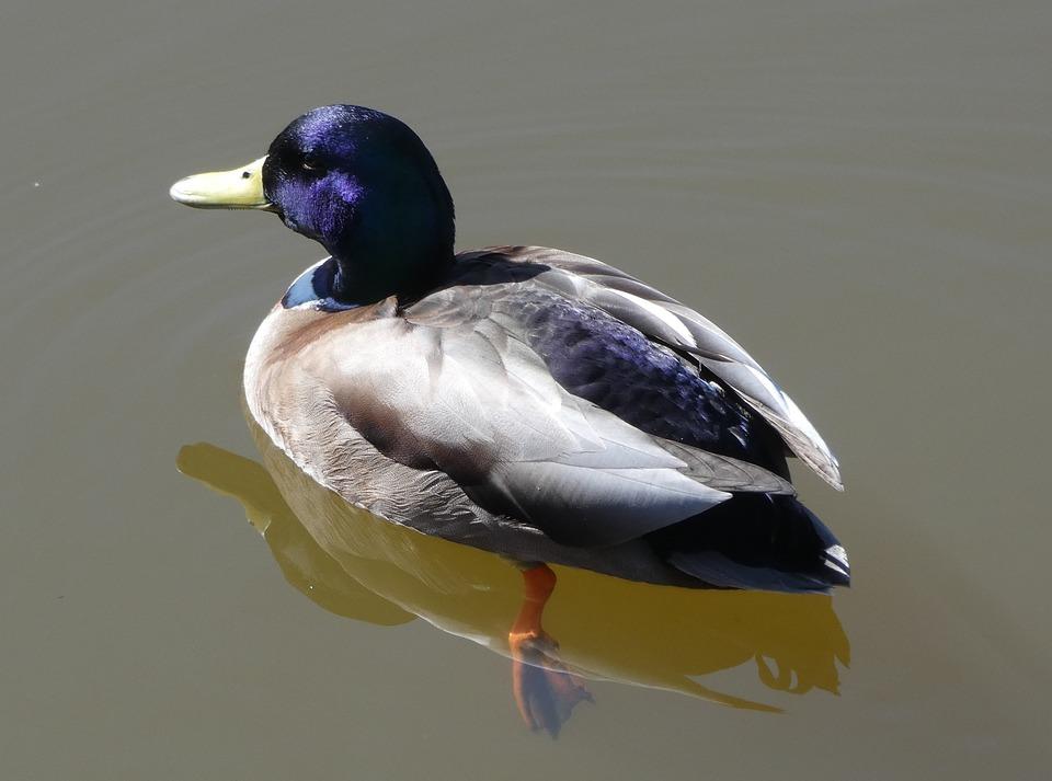 Birds, Wildlife, Ducks, Nature