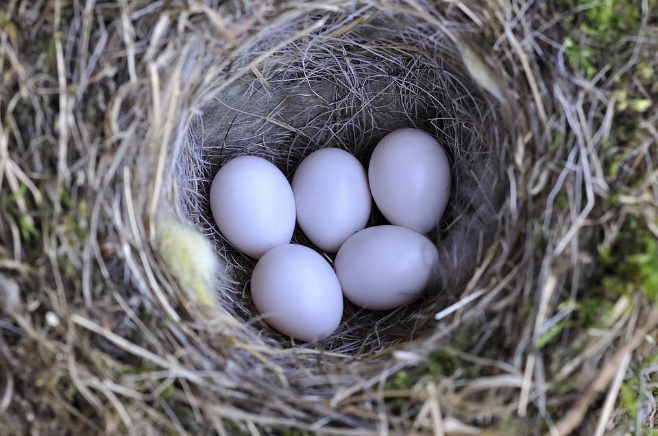 Bird's Nest, Nest, Bird Eggs, Nature, Egg, Close