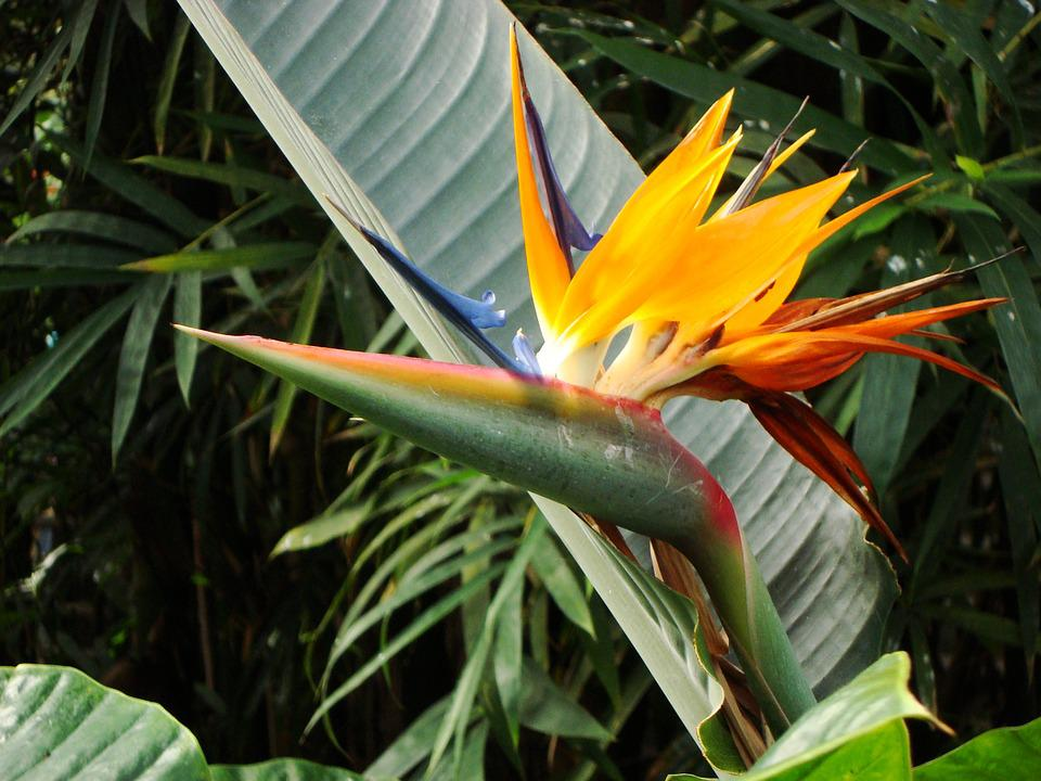 Bird Of Paradise Flower, Birds Of Paradise